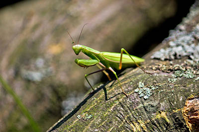 Photograph - Praying Mantis In Natural Environment by Brch Photography