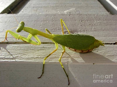 Photograph - Praying Mantis by Jola Martysz