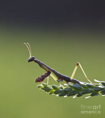 Mantidae Photograph - Praying Mantis Macro In The Sunlight by Brandon Alms