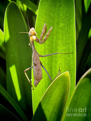 Art Print featuring the photograph Praying Mantis by Kasia Bitner