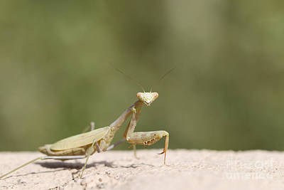Photograph - Praying Mantis by Martha Marks