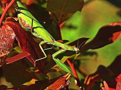 Photograph - Praying Mantis by MTBobbins Photography