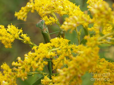Praying Mantis On Goldenrod Art Print by Anna Lisa Yoder