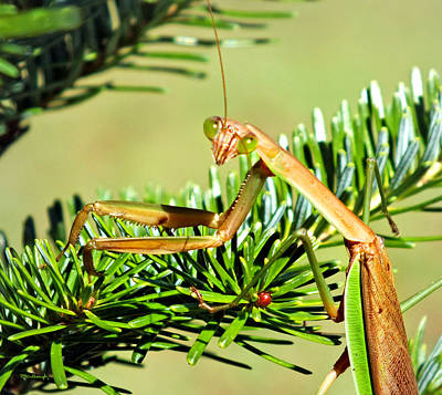 Photograph - Praying Mantis On The Pine Tree 2 by Duane McCullough