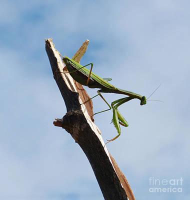 Photograph - Praying Mantis by Phil Banks