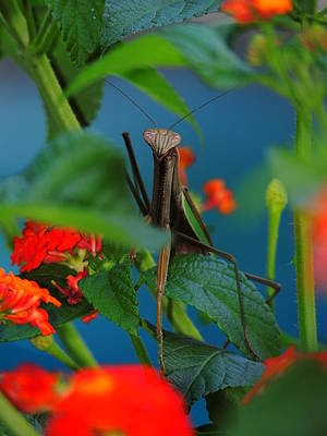 Photograph - Praying Mantis by Raymond Salani III