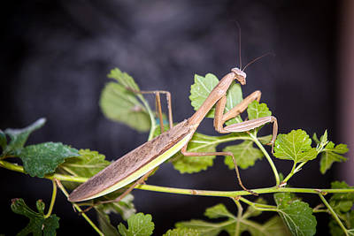 Photograph - Praying Mantis by Sennie Pierson