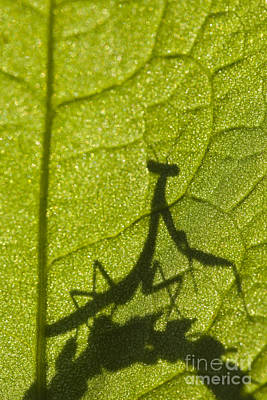 Mantidae Photograph - Praying Mantis Silhouette Behind A Leaf by Brandon Alms