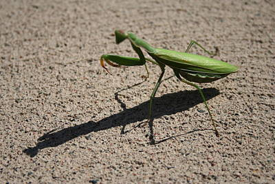 Photograph - Praying Mantis by Stephanie  Kriza