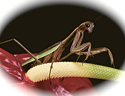 Canibal Photograph - Praying Mantis Taking A Walk On The Anthurium Flower With A White Mat Finish by Leslie Crotty