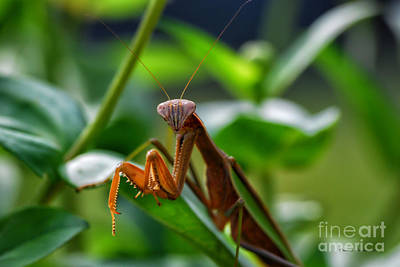 Art Print featuring the photograph Praying Mantis by Thomas Woolworth