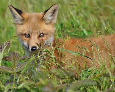 Precious Red Fox Print by Angel Cher