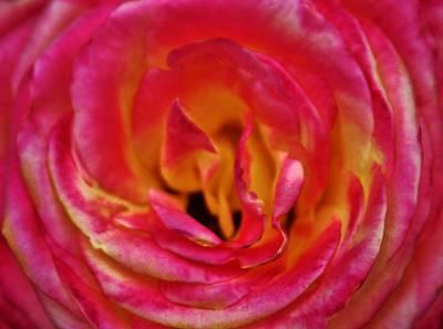 Precious Rose Art Print by Cynthia Guinn