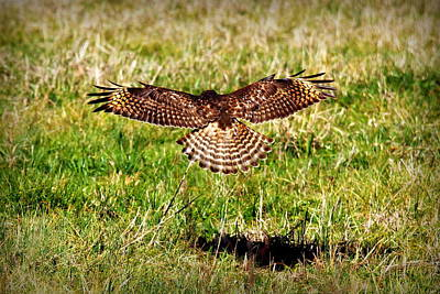 Photograph - Predator Attack Red Shouldered Hawk Landing by Reid Callaway