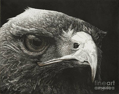 Red Tail Hawks Drawing - Predator by David Griffin