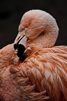 Photograph - Preening by Wes and Dotty Weber