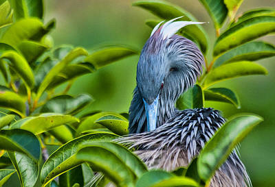 Photograph - Preening by Don Durfee