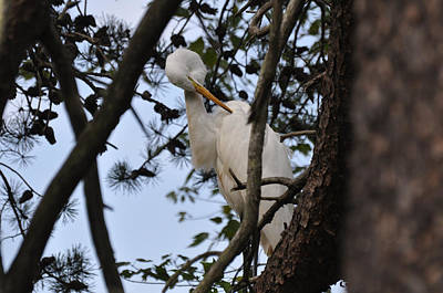 Preening Egret On Branch - 4272a  Art Print