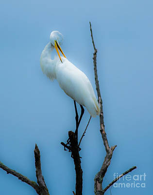 Photograph - Preening Egret by Ursula Lawrence