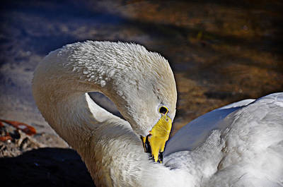 Photograph - Preening by Linda Brown