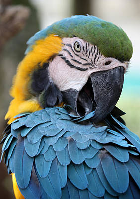 Photograph - Preening Macaw by David Nicholls