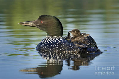 Loon Photograph - Preening Mommy by Jim Block