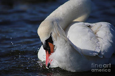 Photograph - Preening Muted Swan by Sue Harper
