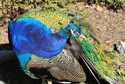 Photograph - Preening Peacock by Mary Haber