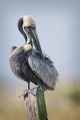 Preening Pelican Art Print by Bonnie Barry