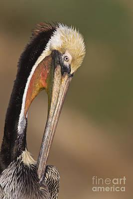 Pelican Photograph - Preening Pelican by Bryan Keil