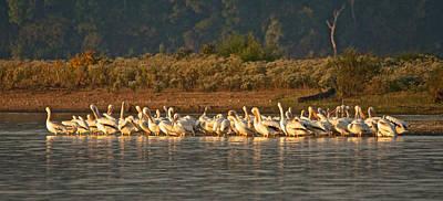 Photograph - Preening Pelicans by Linda Shannon Morgan