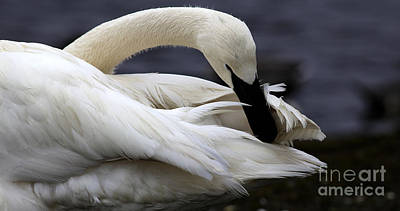 - Preening Swan by Sue Harper