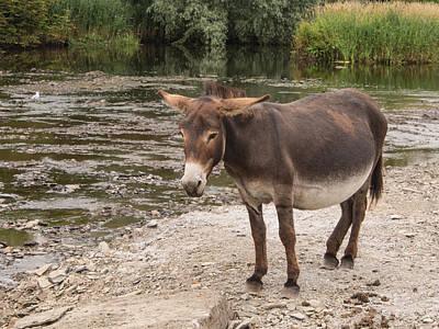 Pregnant Donkey Art Print