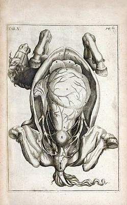Pregnant Horse Anatomy Art Print