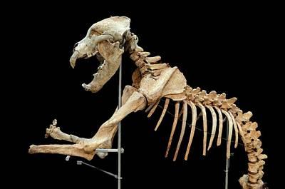 Cave Bear Photograph - Prehistoric Cave Bear Skeleton by Chris Hellier