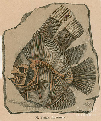 Photograph - Prehistoric Fish Platax Altissimus by Science Source
