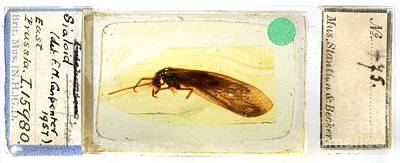Baltic Amber Photograph - Prehistoric Insect In Amber by Natural History Museum, London