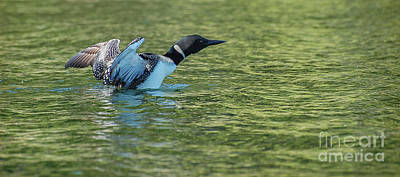 Loon Photograph - Preparing For Take Off by Bianca Nadeau