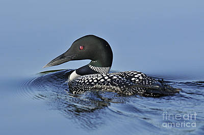 Loon Photograph - Preparing To Dive by Larry Ricker
