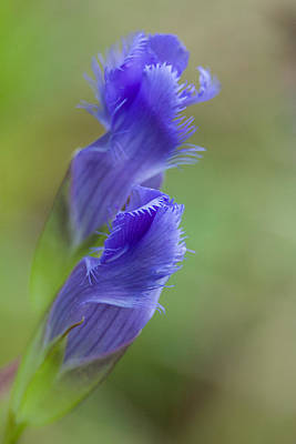 Gentian Photograph - Preparing To Open by Dale Kincaid