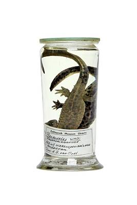 Newts Photograph - Preserved Newts by Gregory Davies