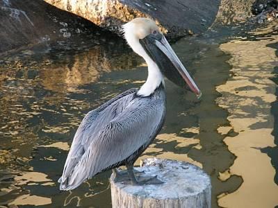 Photograph - Presidential Pelican by Michael Davis