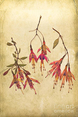 Pressed Fuchsia Flowers Art Print by Jan Bickerton