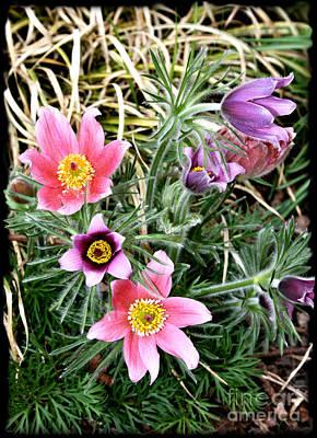 Photograph - Pretty Anemones by Gabriele Pomykaj