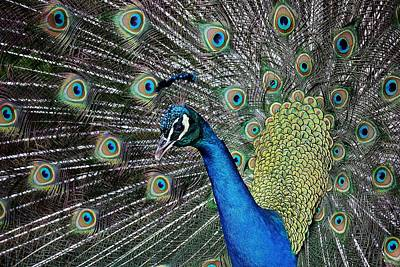 Pretty As A Peacock Art Print by Paulette Thomas