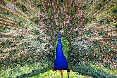 Pretty As A Peacock Art Print by Tony  Colvin