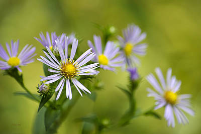 Pretty Aster Flowers Print by Christina Rollo