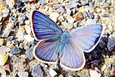 Switzerland Photograph - Pretty Blue Butterfly On Gravel by Karin Ravasio