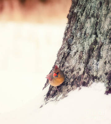 Photograph - Pretty Cardinal by Julie Clements