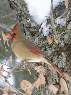 Photograph - Pretty Cardinal by Peggy  McDonald